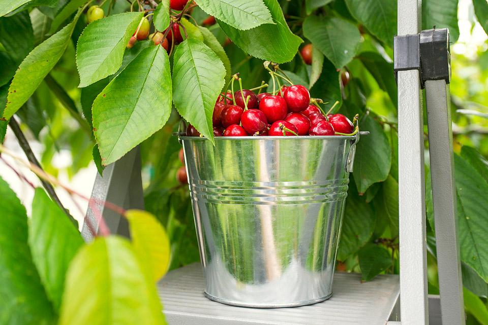 Food blogger, Bella Bucchiotti of xoxoBella, shares about cherry season in BC and WA and how to pick cherries.