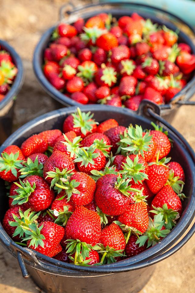 Lifestyle and food blogger, Bella Bucchiotti of xoxoBella, shares a guide to strawberries in BC and WA. Tips for strawberry season, picking strawberries and how to keep strawberries fresh.