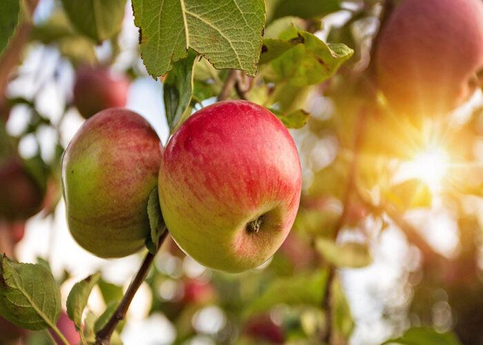 Lifestyle blogger, Bella Bucchiotti of xoxoBella, shares a guide to apple season in British Columbia and Washington.